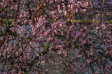 Blossoms on Tree in Frankfurt
