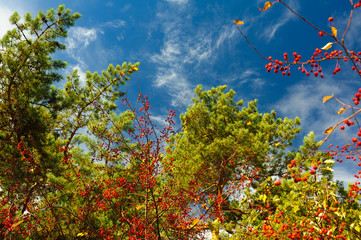Coniferous branches and rowan berries against a blue sky with light clouds