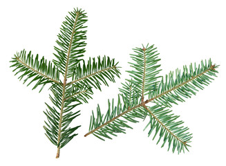 A fir tree Abies sibirica branch is isolated on a white background. View from two sides.