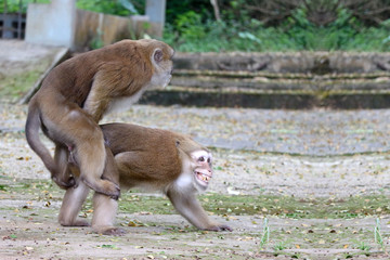 Two thai red face monkeys making love for mating at outdoor park.