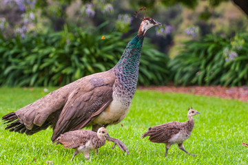 female peacock and baby