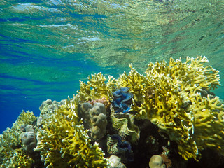 coral reef with giant clam - Tridacna gigas on the bottom of tropical sea  between corals
