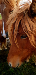 A portrait of a horse with nice mane