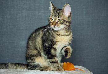 mongrel kitten is sitting on a gray plaid, looking to the side, one paw is raised, a brown mouse toy is lying next to it, a dark blue shade in the background, an animal in full growth,