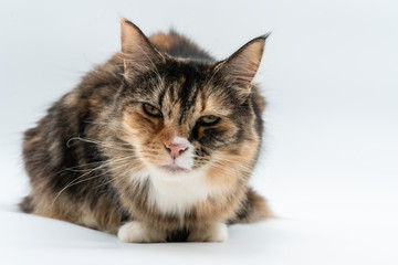 A tabby cat looks tired in the camera on white background