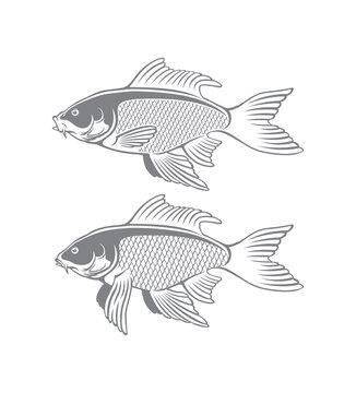 fish carp koi