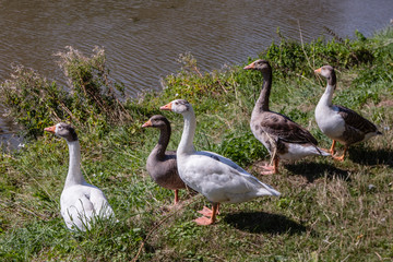 5 wild geese on river bank