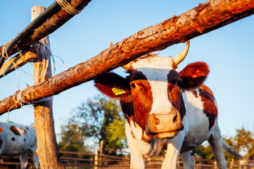 Close-up of white and brown cow on farm yard at sunset. Cattle walking outdoors in summer