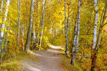 The path among the yellowed birches in the Park. Defoliation.