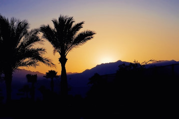 Tropical palm trees at sunset in evening on background silhouette of high mountains at dusk twilight in Mount Moses Sinai Egypt Toned photo landscape