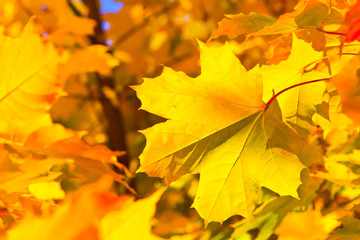 bright colorful maple leaves in the autumn