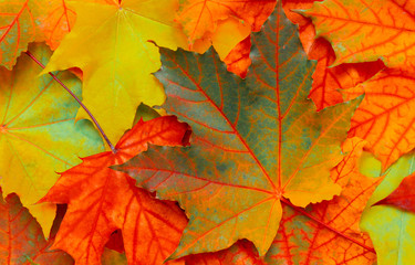 Beautiful Nature autumn Background with maple leaves