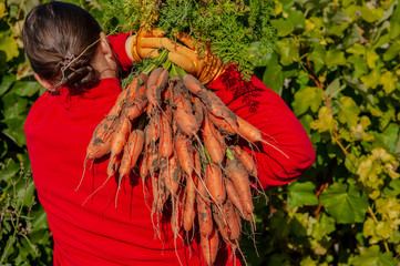 Happy female farmer was digging and holding crop of carrots harvested from his garden plot. Traditions of ecological nutrition, vegetarian, healthy nutrition, respect for nature. Hand close up