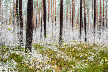 First frost in the forest, Latvia