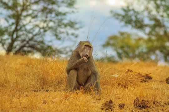 Chacma Baboon, Papio ursinus, eating in the grassland nature. Dry season. Cape baboon it is one of the largest of all monkeys. Kruger National Park in South Africa. Blurred background.