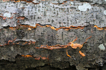 Phlebia radiata or Wrinkled crust on old tree