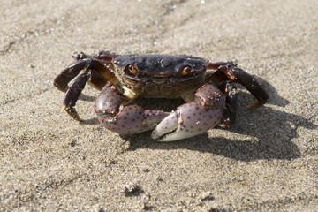 Wondering Crab