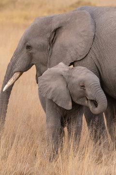 elephant baby and mum