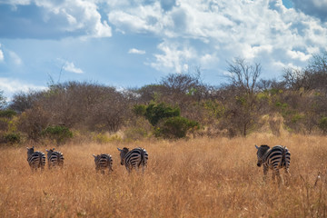 Zebra in the wild field