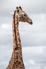 the isolated giraffe