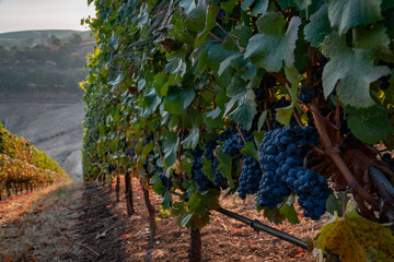 Row of ripe wine grapes ready for harvest at a vineyard in southern oregon