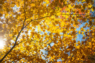 Low angle shot of autumn maple