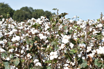 Cotton just before harvesting in the fall in Northern Alabama