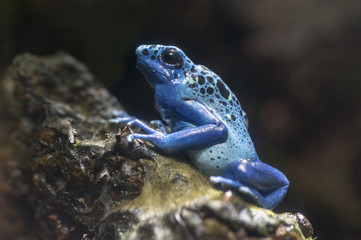 Blue poison dark frog