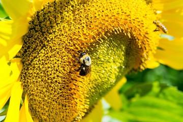A bee picnics on a sunflower