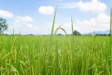 Rice field with blue sky in Lampang, Thailand.