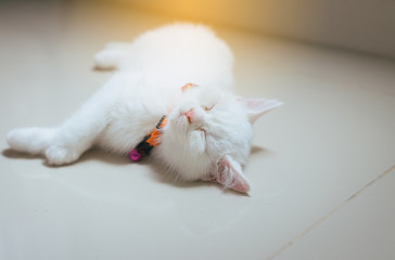 Happy cat Scottish fold lying on floor cute little animal,Close up