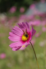 Sweet Pink Cosmos Flower with a Bee