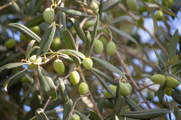 Green olives riping on olive tree close up