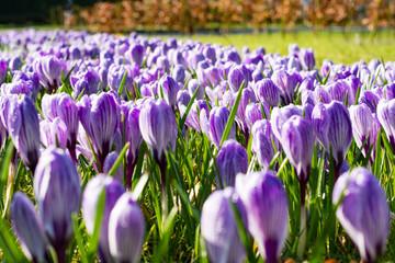 Aluminium Prints Crocuses First spring flowers, groups of violet or lilac crocuses
