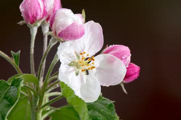 Spring blossom of apple tree close up