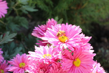 Bee on pink chrysanthemum