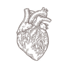 Hand drawn human heart isolated on white background. Vector engraved illustration.