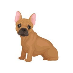 Adorable french bulldog sitting isolated on white background. Dog with big shiny eyes and smooth brown coat. Flat vector design