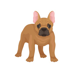 Portrait of standing french bulldog, front view. Dog with smooth brown coat, big pink ears and cute muzzle. Flat vector design