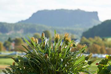 blühende Pflanze mit dem Lilienstein im Elbsandsteingebirge im Hintergrund