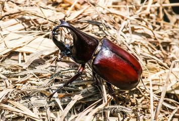 Stag or Rhinoceros beetle