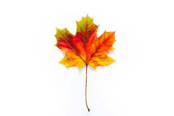 Colorful maple leaf