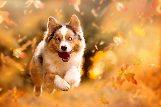 Dog, Australian Shepherd jumping in autumn leaves