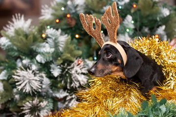 Dachshund wearing reindeer antlers and looking into distance.