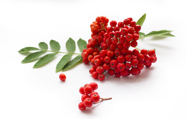 aurumn rowan branch and berries. Ripe red rowan isolated on white background