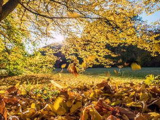 Blätter fallen von einem Baum im Herbst