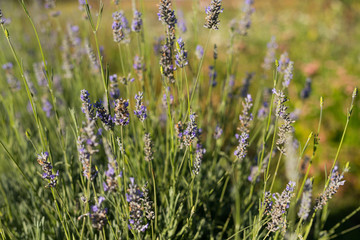 Lavender in a Field on a Sunny Day
