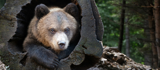 Wall Mural - Close up bear cub portrait