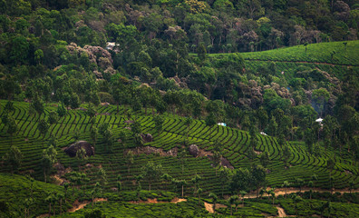 Tea Plantations in the hills