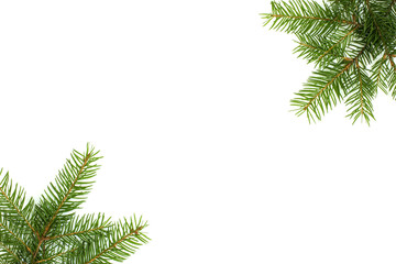 Branch of spruce on white background